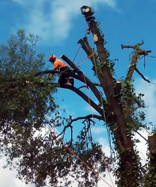 Tree Removal Stump Removal Hedge Removal 500x600 001